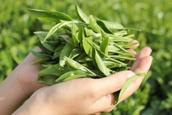 Thực phẩm tốt cho gan: Trà xanh